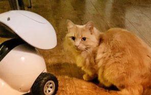 Le robot intelligent distributeur de gâteries iPet de Dogness, sur un plancher en bois, à gauche de l'image, avec un chat roux qui le regarde, du côté droit.